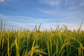 Bioteknologi Pertanian Terbaru