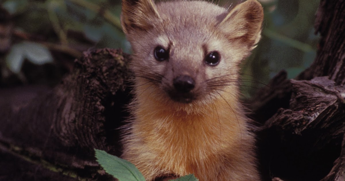 Animales en el planeta la marta americana martes americana - Was kann man gegen marder tun im garten ...