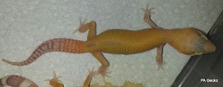 PA-Gecko-Raptor