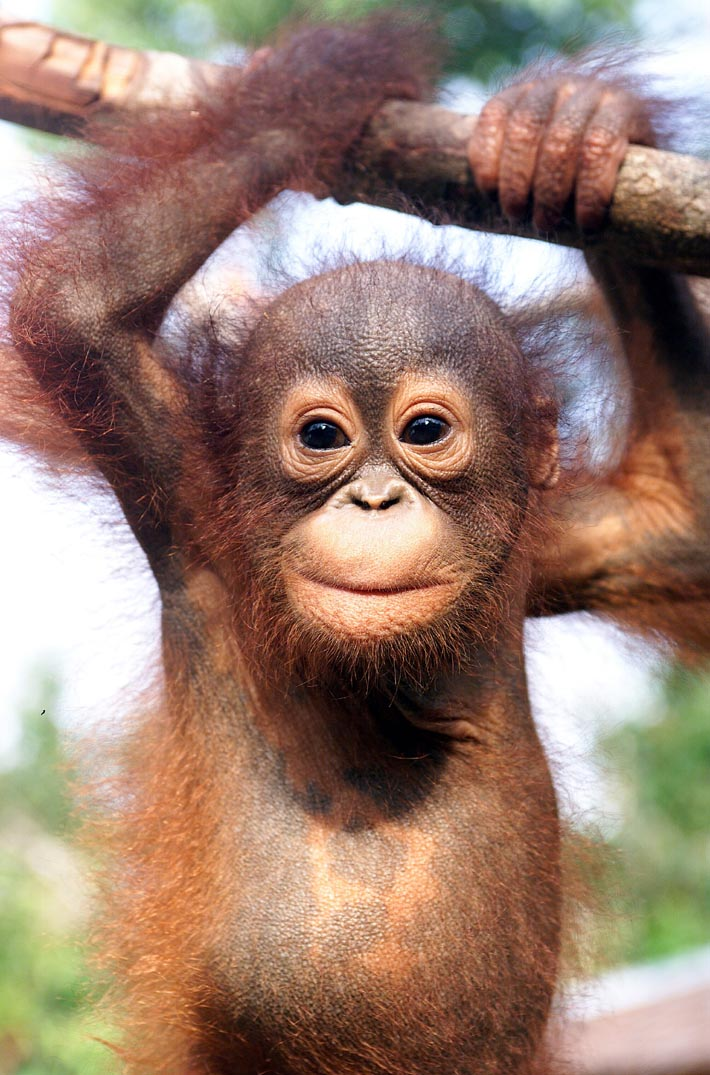 Encyclopaedia of Babies of Beautiful Wild Animals: Baby Orangutan