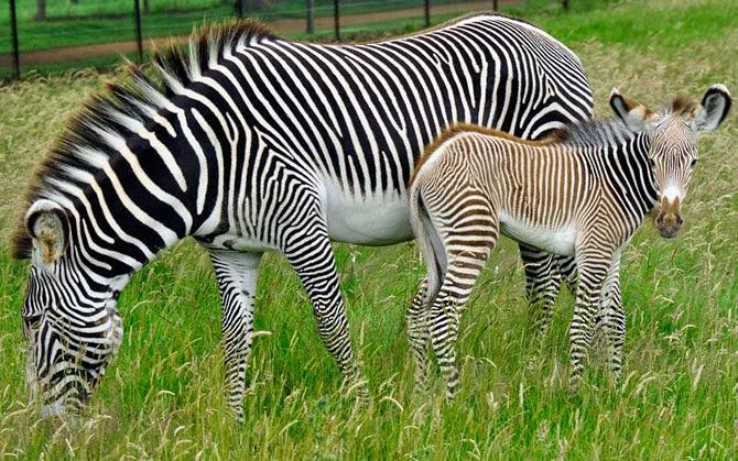 hình nền ngựa vằn cực đẹp