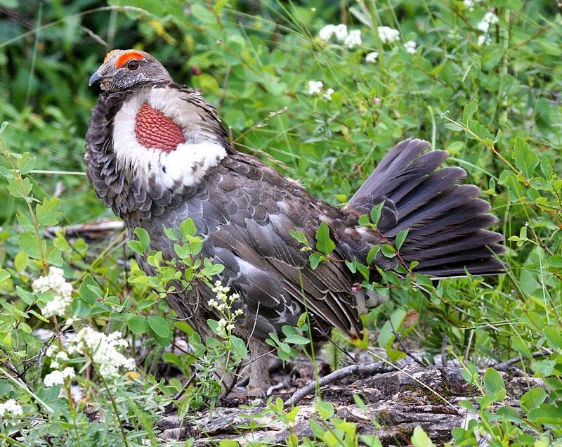Gallo de las rocosas: Dendragapus  Falcipennis falcipennis