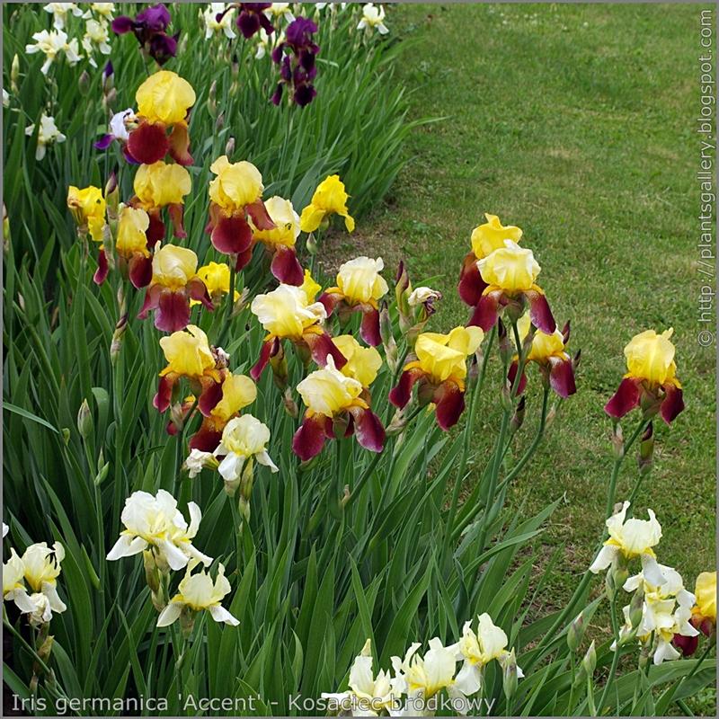 Iris germanica 'Accent' - Kosaciec bródkowy 'Accent'