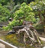 Cay Canh Dep, Cay Canh Dep Sanh Dáng Nam Dien H4