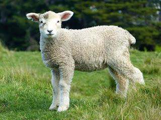 Manajemen pakan domba, makanan domba, pakan domba