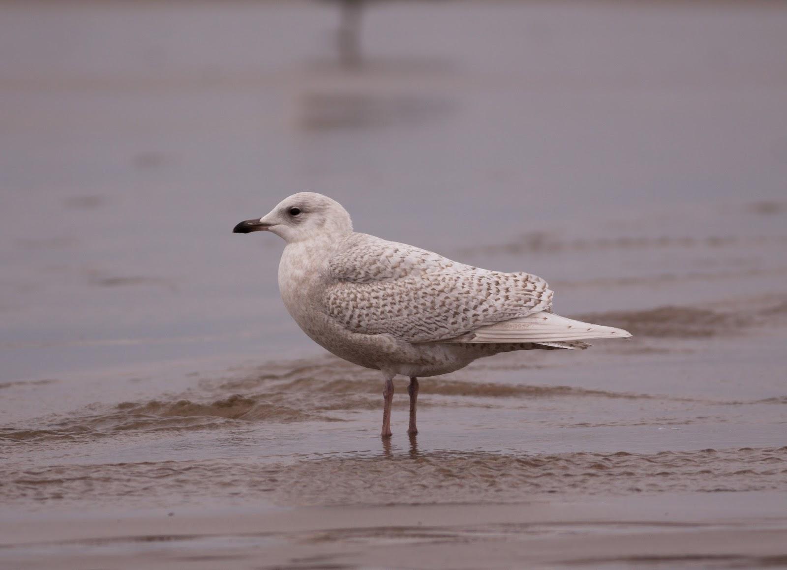 Iceland Gull - Pensarn