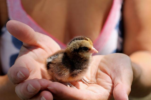 Bantam Americana Chick