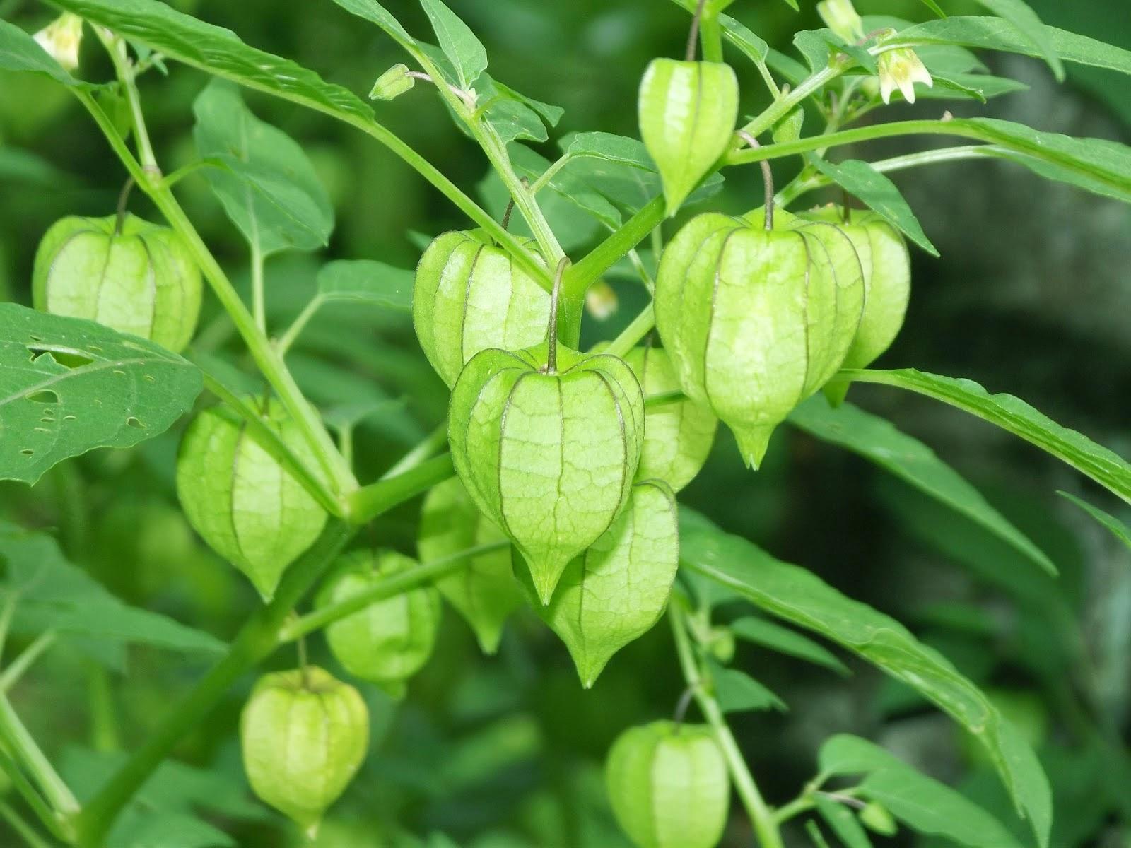 Manfaat tanaman ciplukan untuk pengobatan herbal