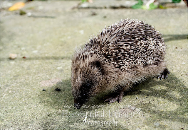 Hedgehogs need our help
