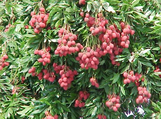 लीची एक लाभदायक फल