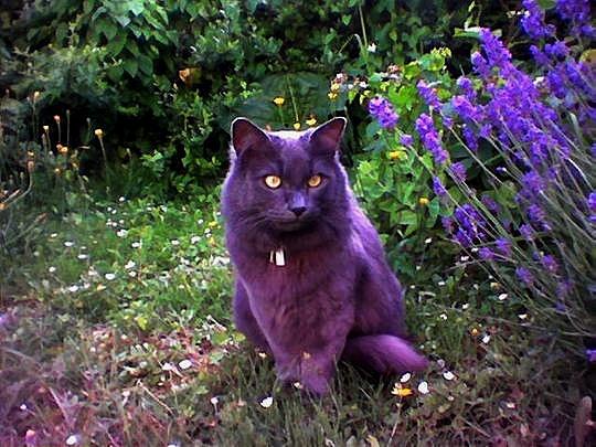 Cat from Oudergem, Belgium