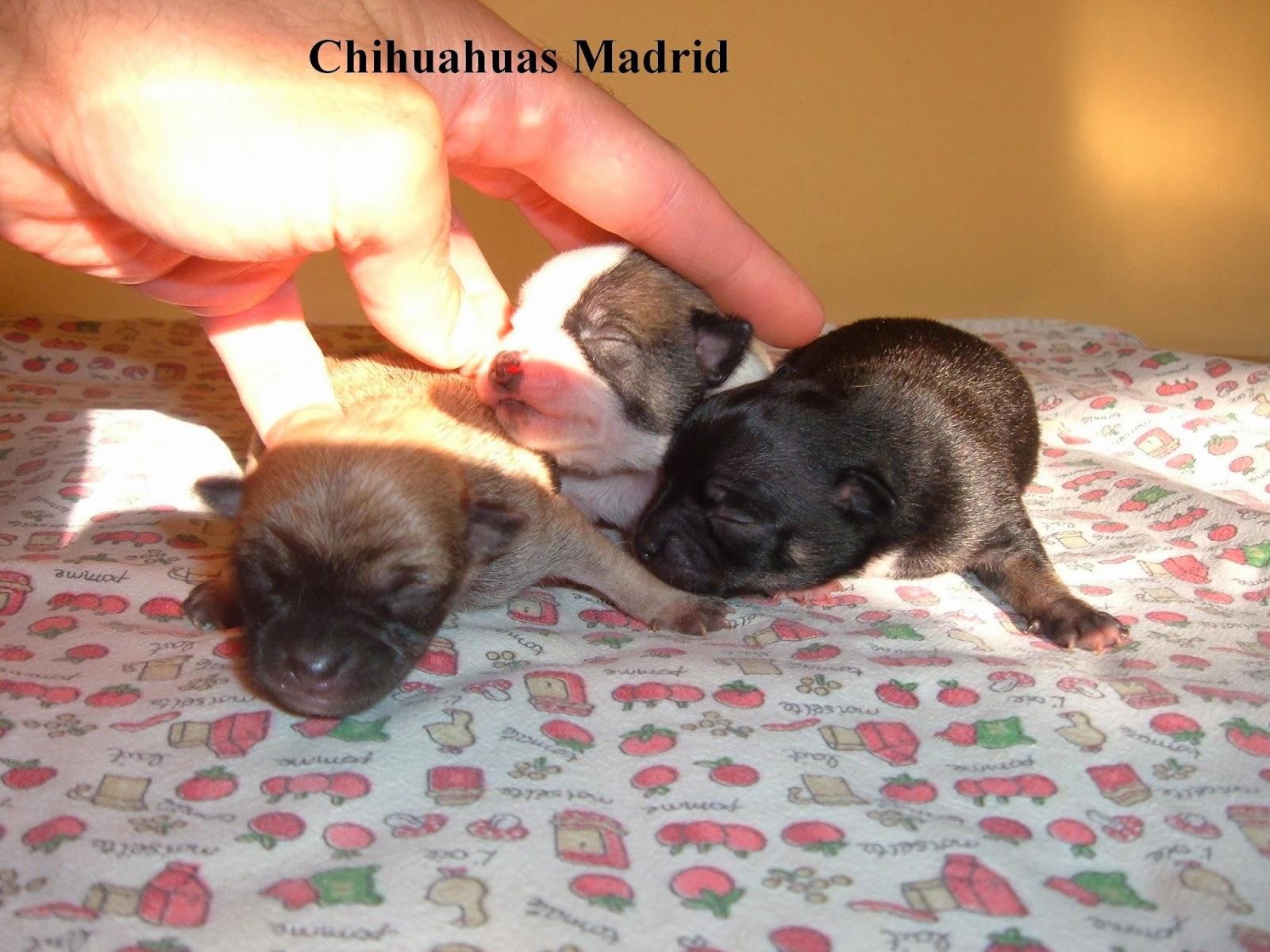 Chihuahuas Madrid: octubre 2013