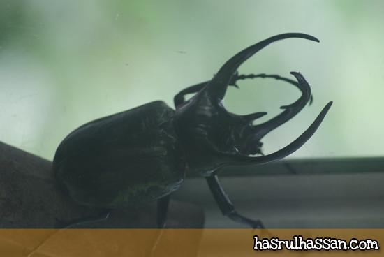 Kumbang Tanduk