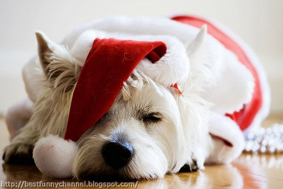Funny sleeping Christmas dog.