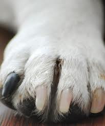 Como hacer para cortarles las uñas al perro