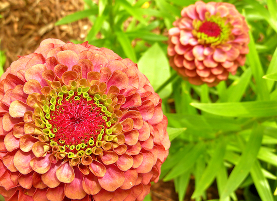 peach color zinnia flower image taken at Green Bay Botanical Gardens Wisconsin