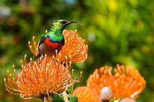 THE SOUTH AFRICAN SUNBIRD
