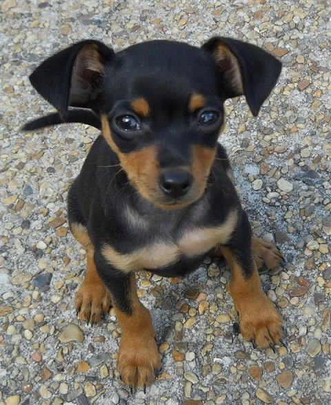 "Search Results for ""Papillon Chihuahua Mix For Sale ..."