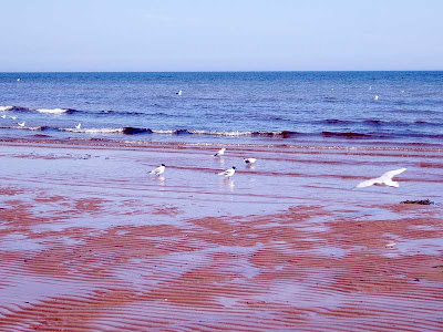 Some black headed gulls on the beach at low tide.