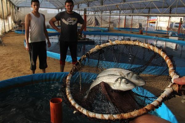 Cultivo de peces en gaza hamaguen for Cuidado de peces