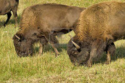 http://us.123rf.com/400wm/400/400/photojim/photojim0909/photojim090900128/5597065-bufalo-americano-de-toro-y-vaca-de-pastoreo-en-el-parque-estatal-custer-en-el-black-hills-de-dakota-.jpg
