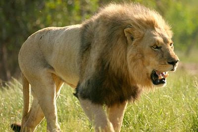 Top 10 Haiwan Terpantas Di Dunia singa