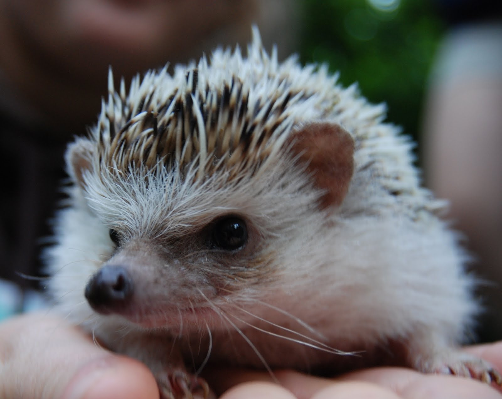 To Infinity and Beyond...: Cutest. Hedgehog. Ever.