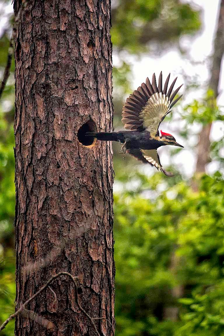 Pileated Woodpecker, Ponca Wilderness