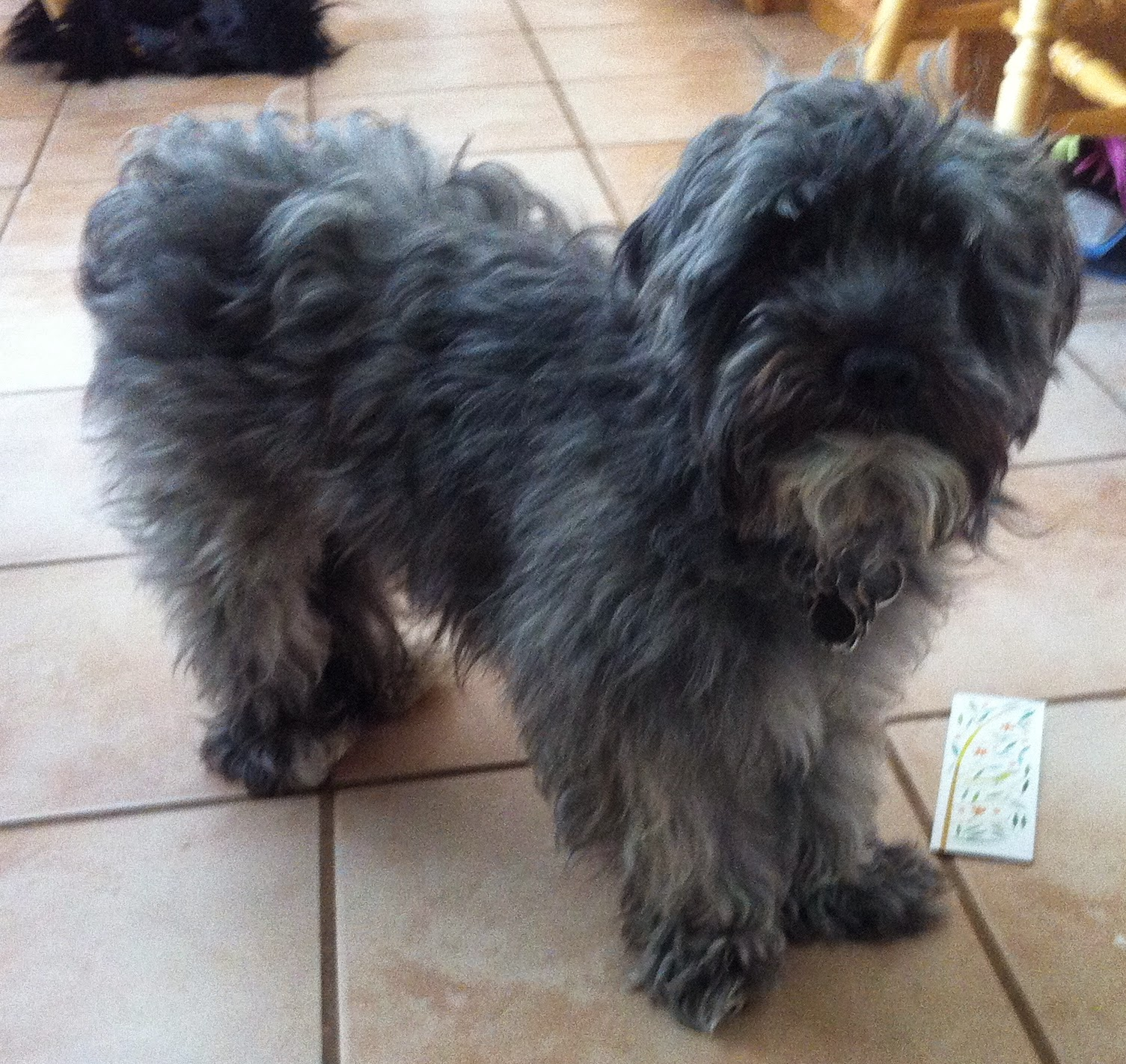 Black Havanese Dog Pictures