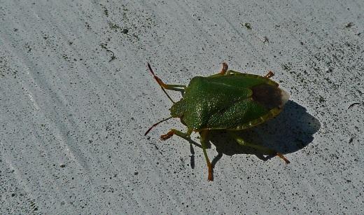 Grön bärfis stinkfly - Palomena prasina