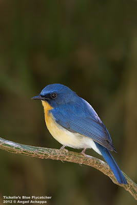 Tickell's Blue Flycatcher at Nandi Hills