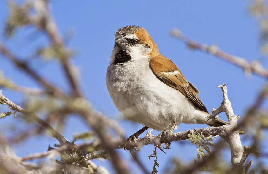 Southern Rufous-sparrow