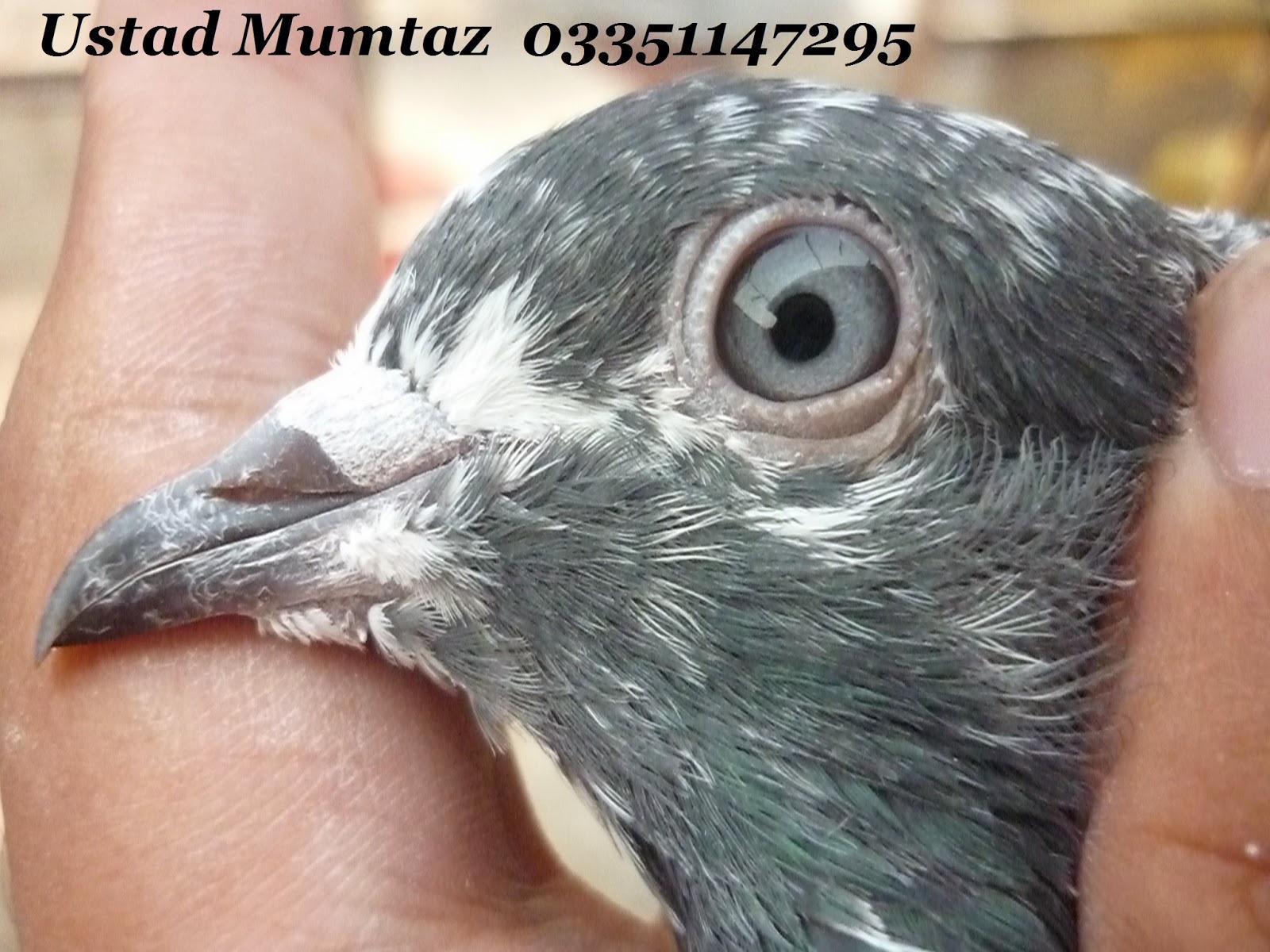 K Magazine Pigeon Pakistani Tipplers Pigeons