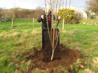 Mulching a pear tree in spring