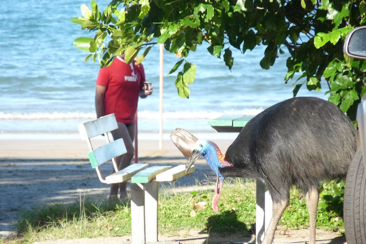GOLD TOPPED CASSOWARY...ETTY BAY QLD