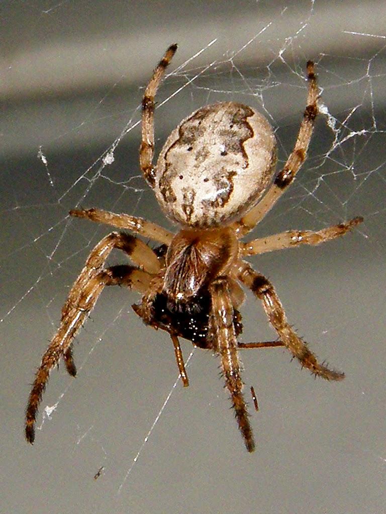 Furrow Spider - Larinioides cornutus | The Spider Guide