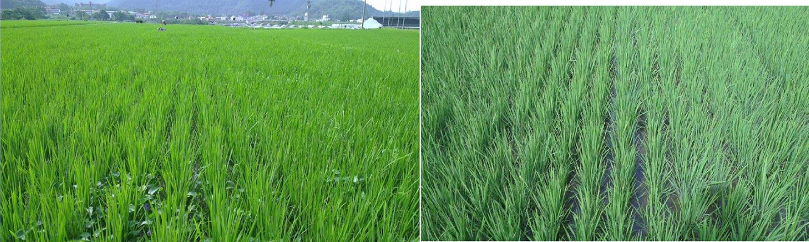 左邊是有長鴨舌草的田區右邊是沒有鴨舌草的田區