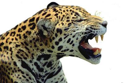 A onça-pintada  é o predador topo de cadeia alimentar.