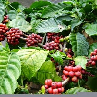 Coffee Lover bali