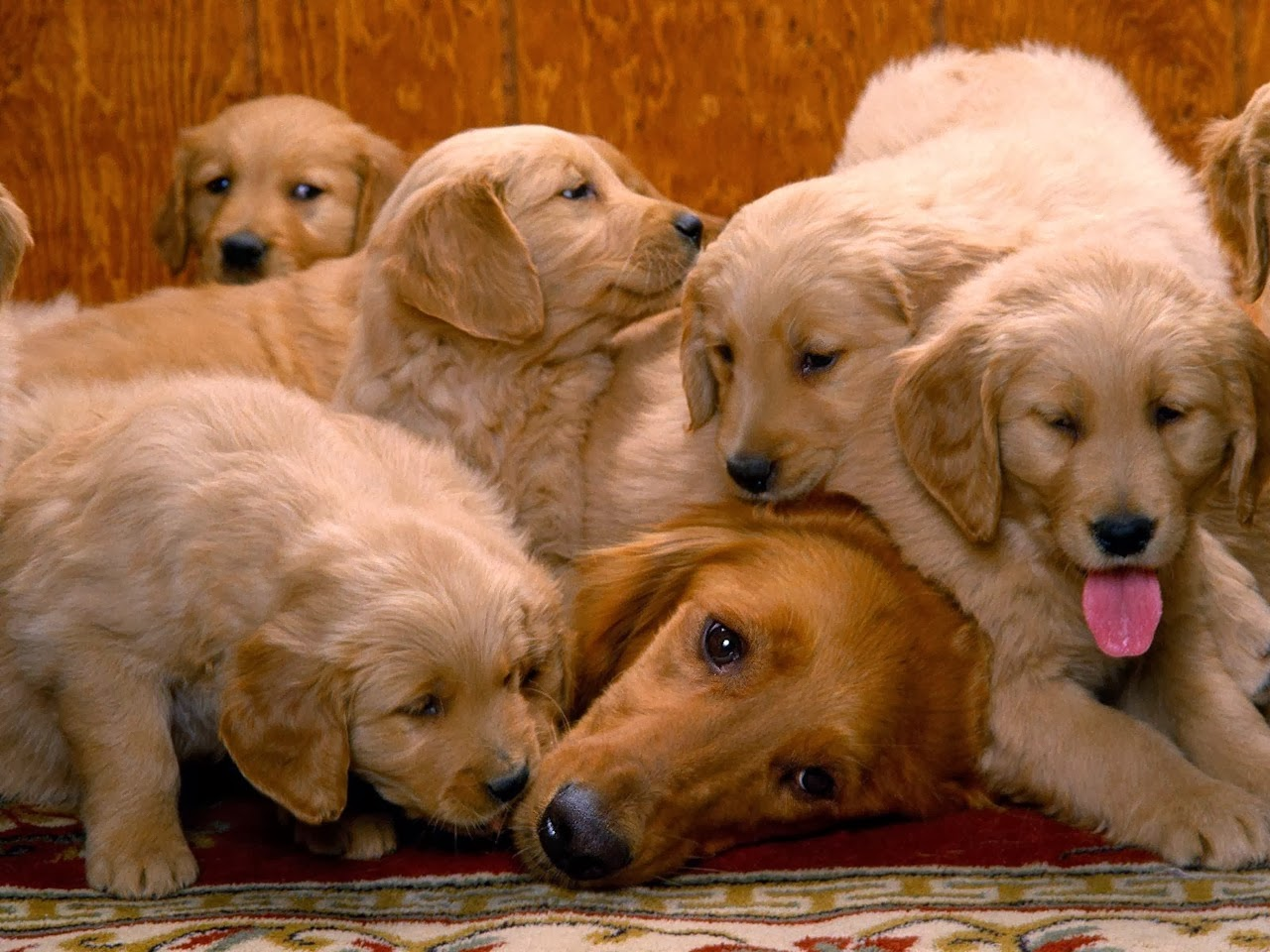 Cute dogs - part 9 (50 pics), golden retriever mommy and her puppies