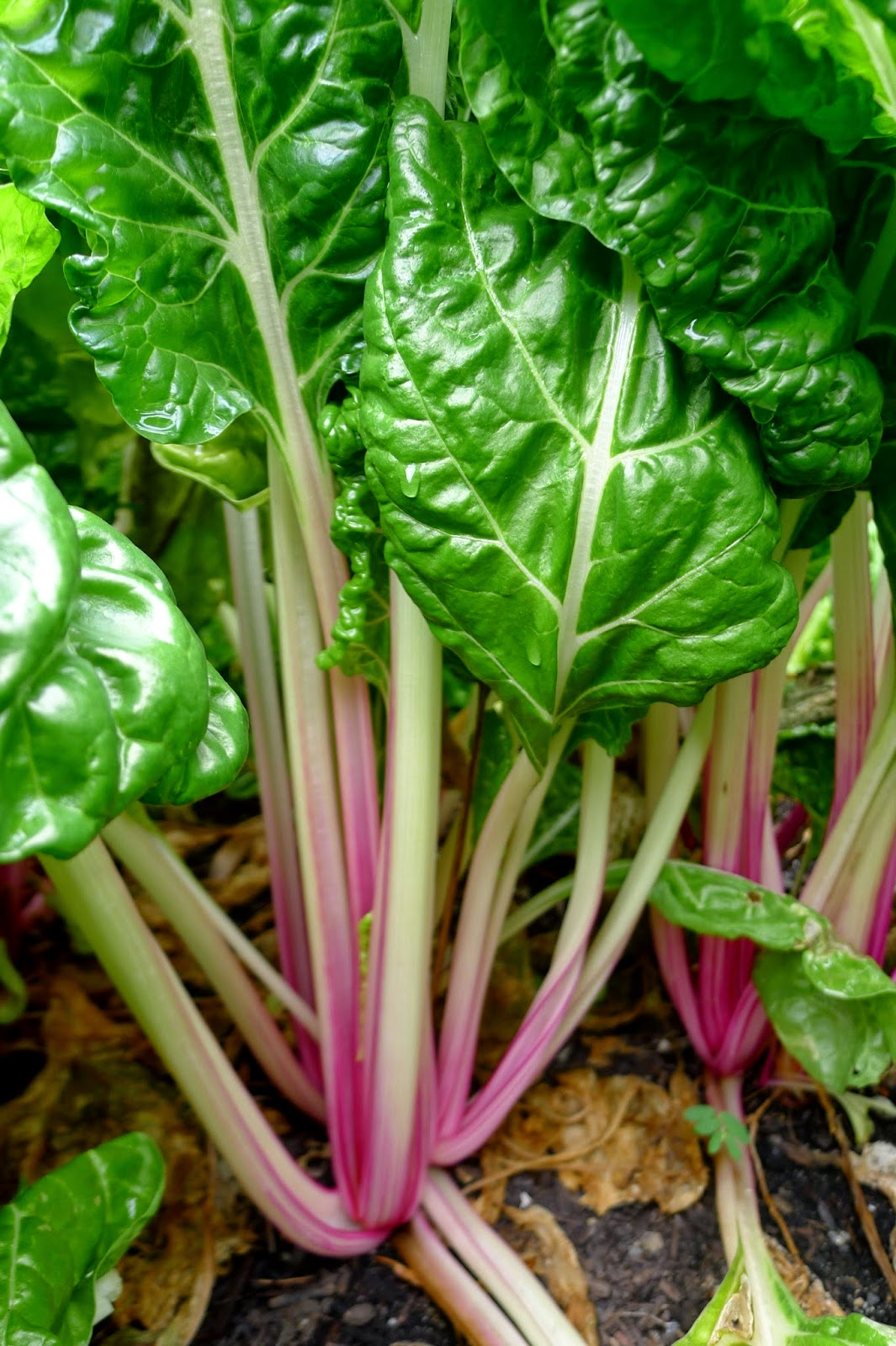 Less Noise, More Green Edible Landscape Project: Peppermint Swiss Chard, annual, vegetable
