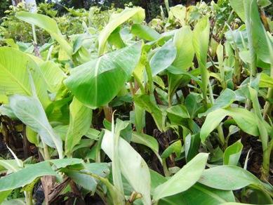 Pisang Ambon adalah termasuk pisang buah yang sangat manis dan khas ...