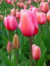 Cara Merawat Bunga Tulip