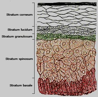 stratum granulosum definition - stratum granulosum layer function, Cephalic Vein