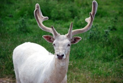 White Deer animal