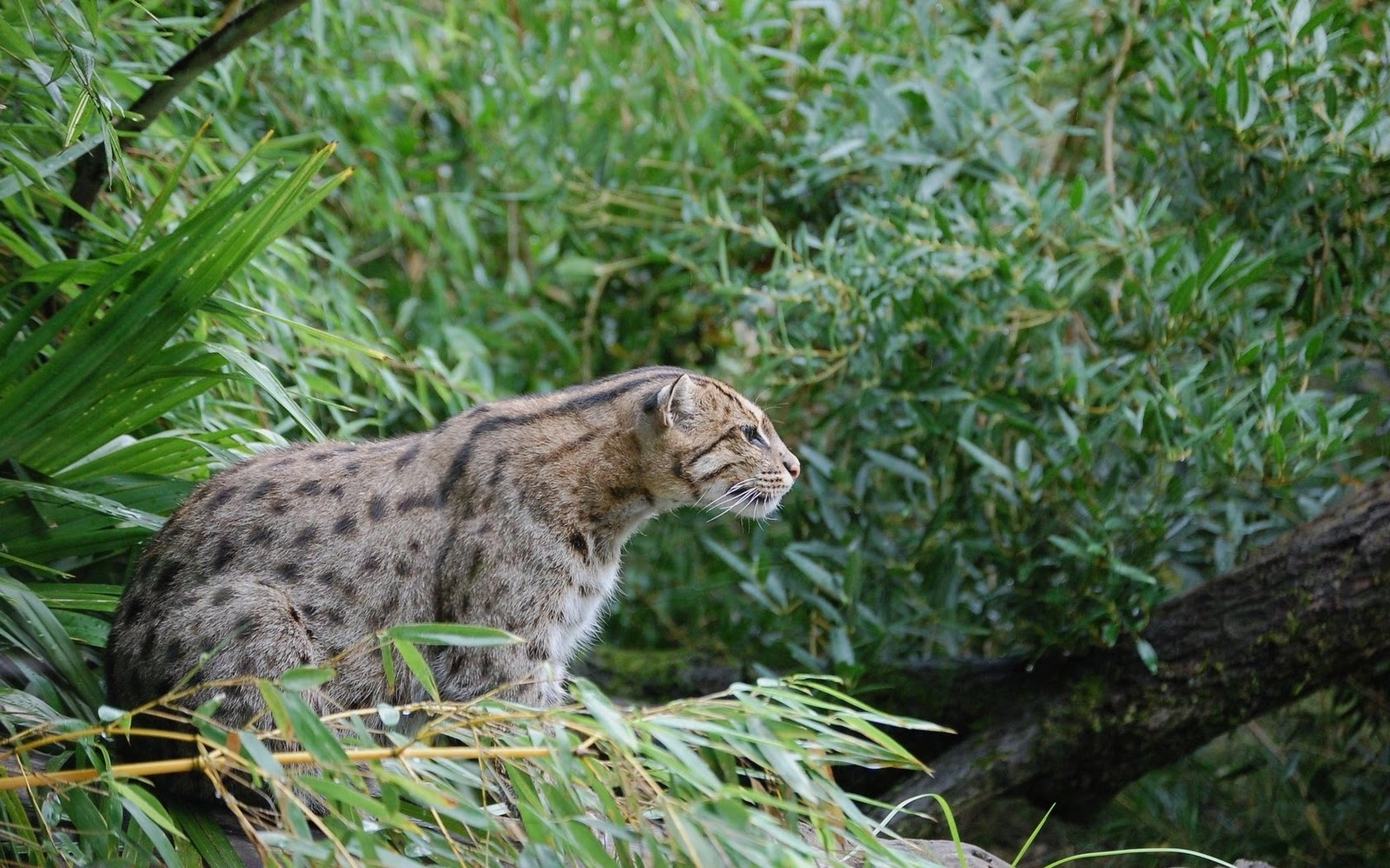 Wild cats wallpapers set 4 images artists for The fishing cat