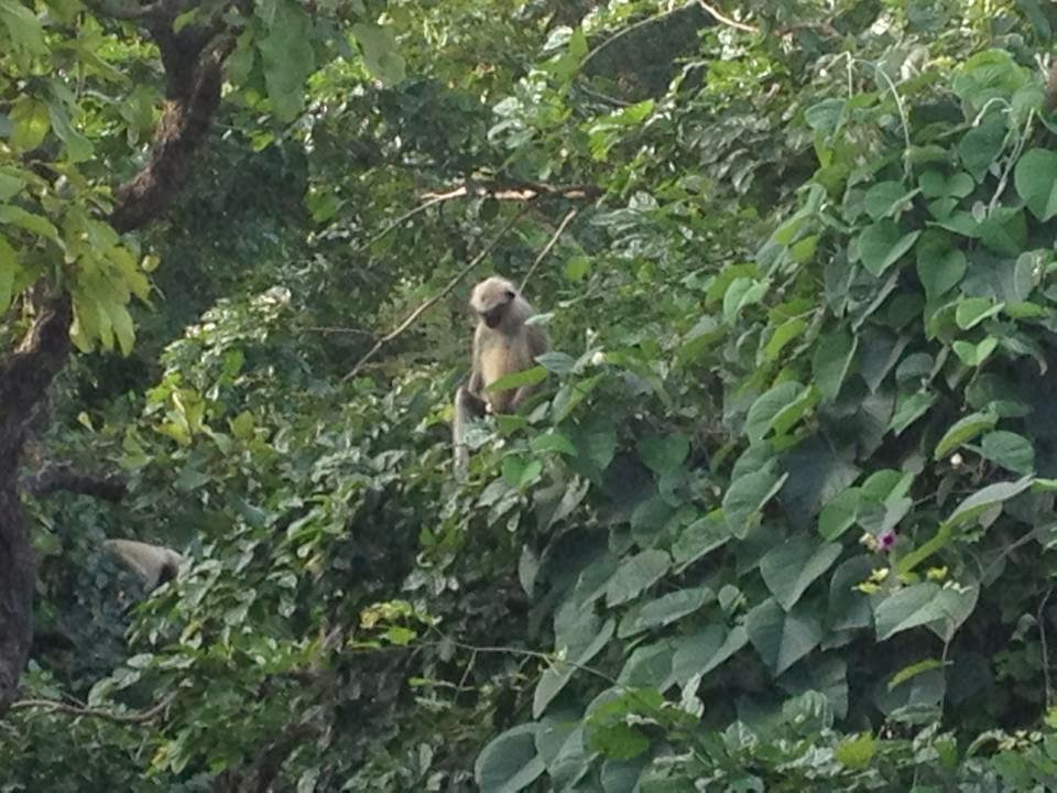 monkey in jungle of junagadh