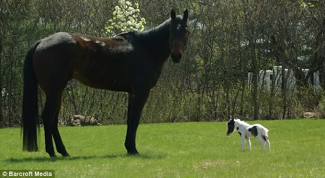 Kuda Terkecil Di Dunia, Sebesar Kucing