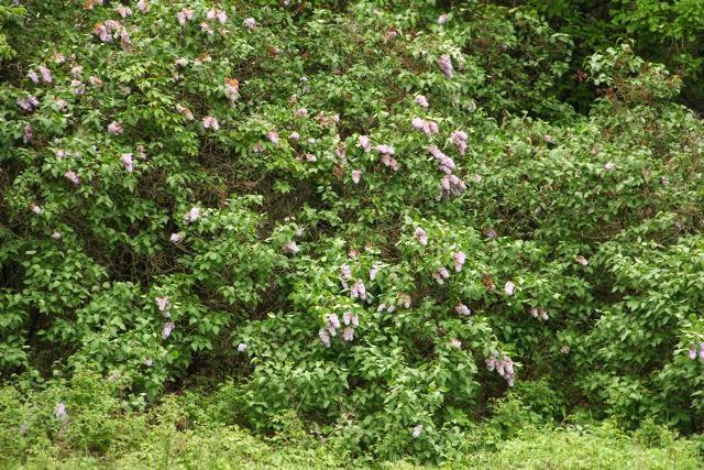 """wild"" lilac bushes"
