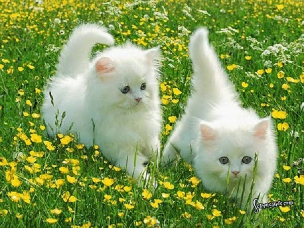 Photos de Chats blancs